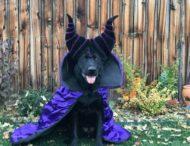 «Я готовый к Хэллоуину! У меня лучше костюм, чем у хозяина» — курьёзные костюмы собак покорили интернет